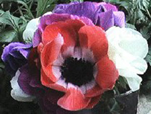 Anemone Pic 2